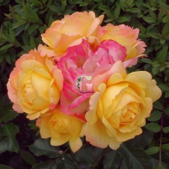 Роза Лампион | Lampion (Флорибунда)
