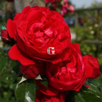 Роза Флорентина | Florentina  (Плетистые) (осень 2021г.)