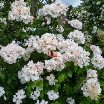 Роза Салли Холмс | Sally Holmes (Мускусные)