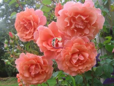 Роза Алибаба (Плетистые розы) (Осень 2021г.)