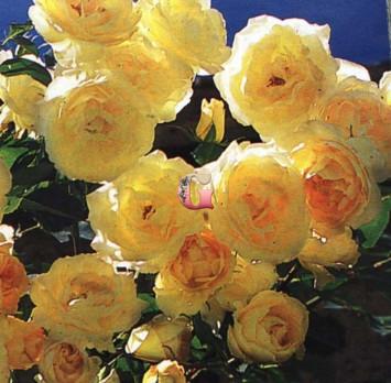 Роза Дюна | Dune (Плетистые)