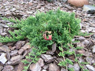 Можжевельник горизонтальный Вилтони | Juniperus horyzontalis Wilton (Р9)(весна 2021г.)