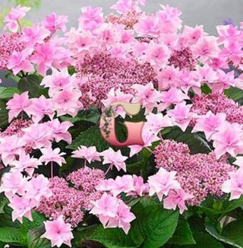 Гортензия крупнолистная Доппио Роза | Hydrangea macrophylla Doppio Rosa (Р12)