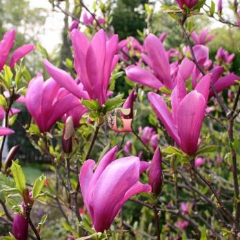 Магнолия гибридная Сьюзан | Magnolia hybrida Susan (Р12)