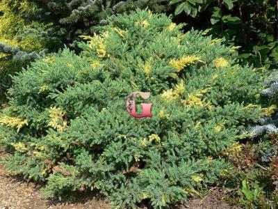Можжевельник китайский Экспанса Ауреоспиката | Juniperus Chinensis Expansa Aureospicata (P9)