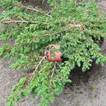 Можжевельник обыкновенный Гринмантл   Juniperus communis Greenmantle (С2)