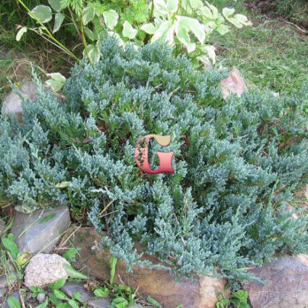 Можжевельник горизонтальный Блю Чип | Juniperus horizontalis Blue Chip (P9)