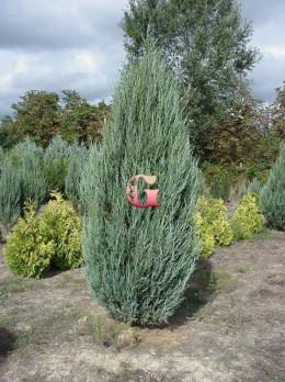 Можжевельник скальный Блю Эрроу   Juniperus scopulorum Blue Arrow(P9)