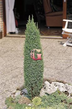 Можжевельник обыкновенный Компресса   Juniperus communis Compressa (С2)