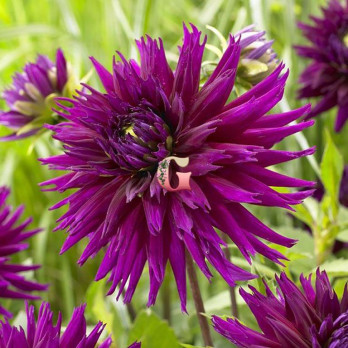 Георгина Пёрпл Джем | Dahlia Purple Gem (1шт)