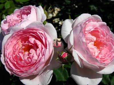 Роза  Септерд Айл | Scepter'd Isle (Английская)(Весна 2021 г.)