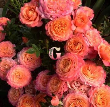 Роза Бриоза | Briosa (Флорибунда) (Осень 2021г.)