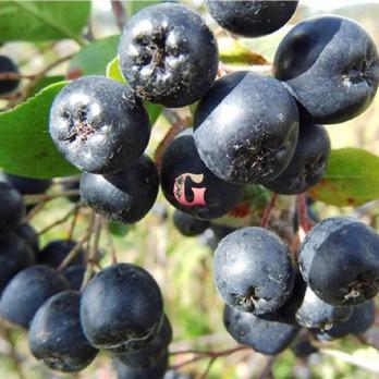 Арония (  черноплодная рябина ) Черноокая