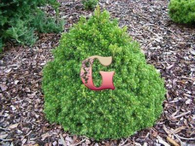Ель обыкновенная Томпа | Picea abies Tompa (P9)