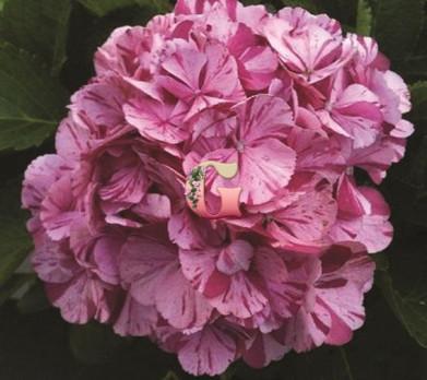 Гортензия крупнолистная Дансинг Энджел | Hydrangea macrophylla Dancing Angel (P12)
