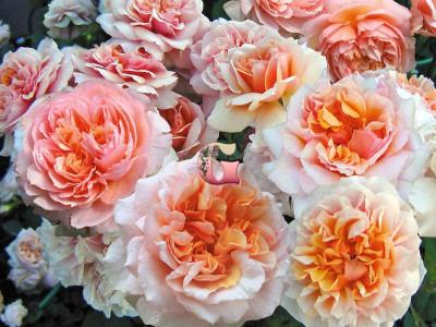 Роза Версайни | Versigny (Шраб) (Весна 2021г.)