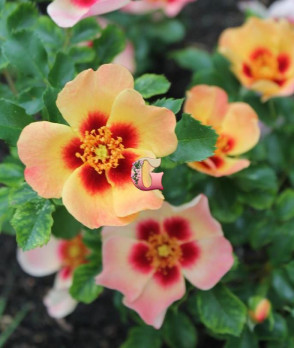 Роза Корал Бэбилон Айз | Coral Babylon Eyes