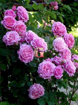 Роза Бьенвеню (Плетистые розы) (Осень 2021г.)