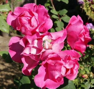 Роза Цикламен (Флорибунда ) (Осень 2021 г.)