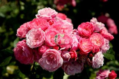 Роза Валферданге | Walferdange ( Мускусные)( осень 2021г.)