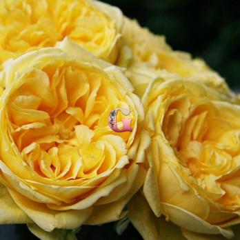 Роза Каталина | Catalina (Спрей) (Осень 2021года)