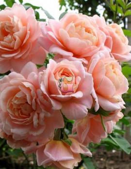 Роза Гейша | Geisha (Флорибунда)