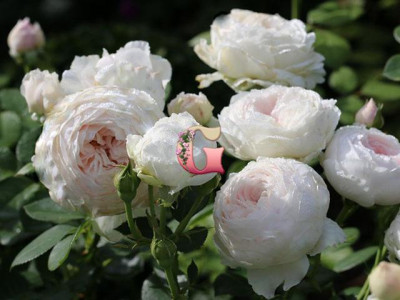 Роза Герцогиня Кристиана | Herzogin Christiana (Флорибунда )