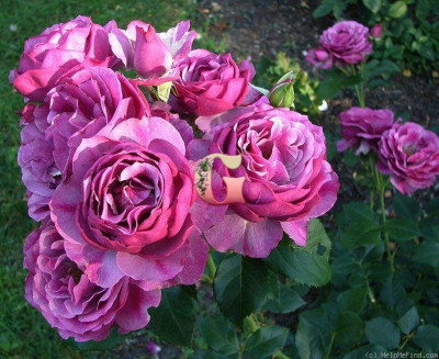 Роза Вайлд Блю Йондер | Wild Blue Yonder (Шраб) (Осень 2021года)