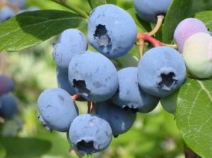 Голубика Блюкроп | Bluecrop (контейнер 2 литра)