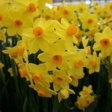 Нарцисс Гранд Солейл дОР (многоцвет.)