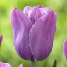 Тюльпан Виолет Бьюти (простой поздний) (10шт.)