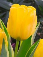 Тюльпан Гарант(дарв.) (10 шт)