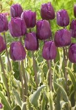 Тюльпан Махду (триумф) (10 шт)