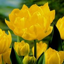 Тюльпан Монте Карло (махр. ранн.) (10 шт.)
