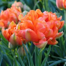 Тюльпан Монте Оранж (махр. ранн.) (10 шт.)