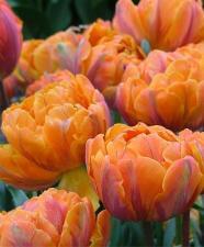 Тюльпан Оранж Принцесс (мах позд) (5 шт)