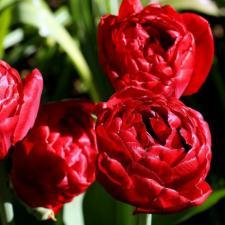 Тюльпан Ред Бейби Долл (махр. ранн) (10 шт.)