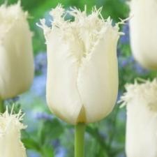 Тюльпан Северный полюс (бахр) (10 шт)