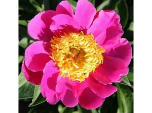 Пион Мэри Элизабет | Mary Elizabeth (травянистый)