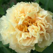Пион Санни Гёрл | Sunny Girl (травянистый)