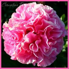 Пион Карнейшн Букет | Carnation Bouquet (травянистый)(осень 2020г.)