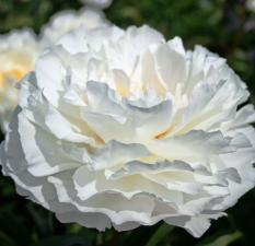 Пион Амалия Олсон | Amalia Olson (травянистый)