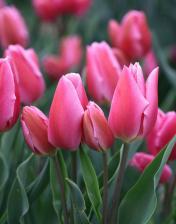 Тюльпан Хэппи  Фэмили (многоцветковый) (10 шт)