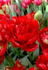 Тюльпан Ред Шато (Махровый Поздний) (10 шт)