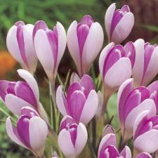 Крокус Вангард  (крупноцветковый) (10 шт)