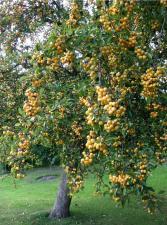 Яблоня Голден Хорнет (райское)