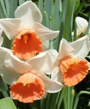 Нарцисс Хромоколор (1 шт.)