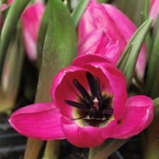 Тюльпан Виолацея Блэк Бейз (10 шт.)