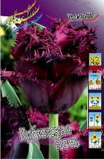 Тюльпан Кубинская Ночь (Бахромчатый) (10 шт.)
