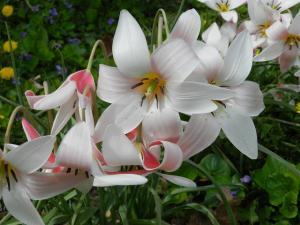 Тюльпан Леди Джейн (10 шт.)